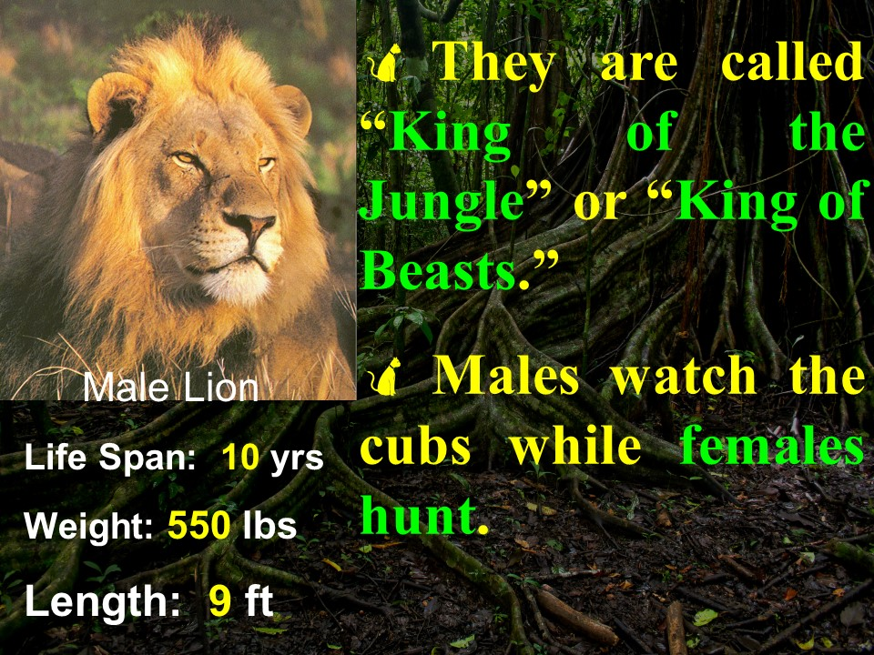 Lion facts 1