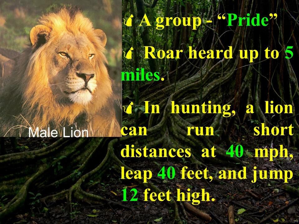 Lion facts 2