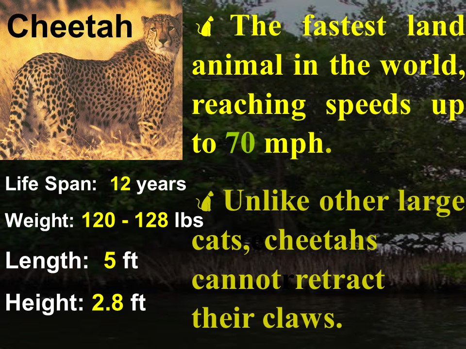 Cheetah facts 1