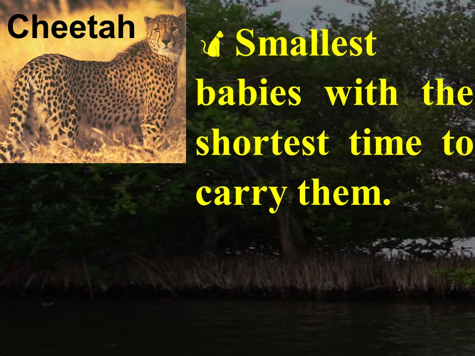 Cheetah facts 2