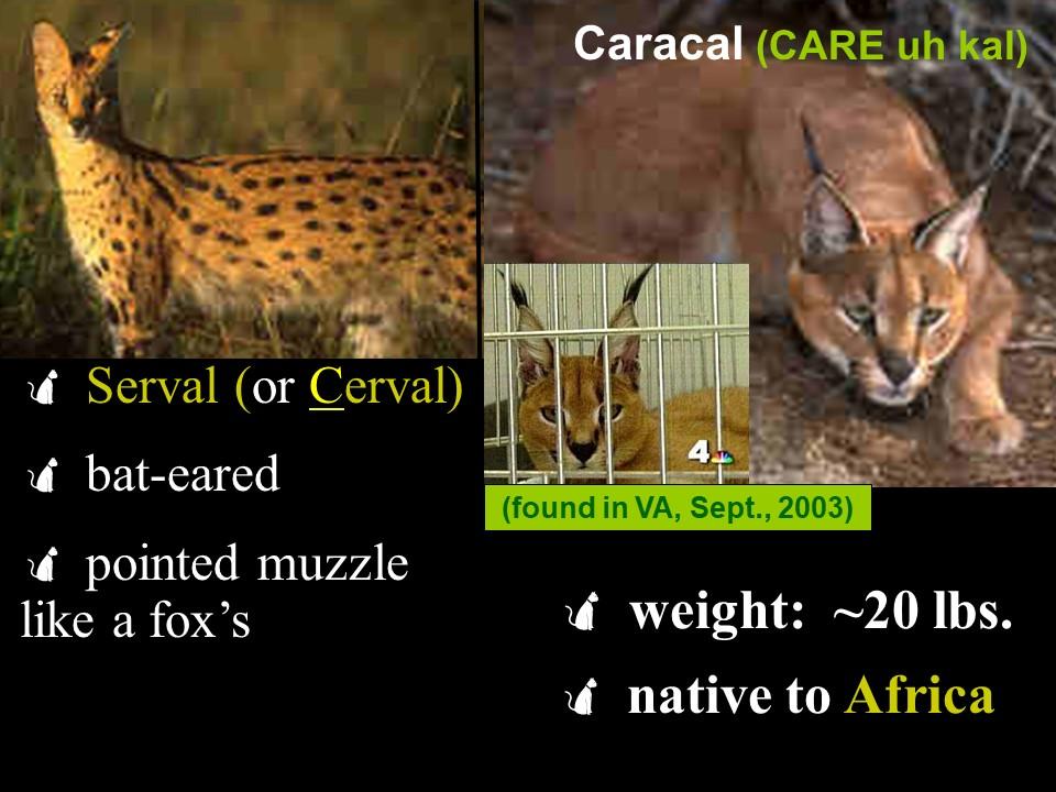 Cerval & Caracal